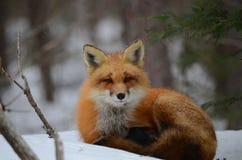 Volpe rossa in una regolazione di inverno Fotografie Stock