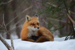 Volpe rossa in una regolazione di inverno Immagine Stock