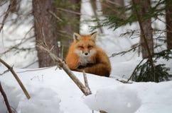 Volpe rossa in una regolazione di inverno Fotografia Stock Libera da Diritti