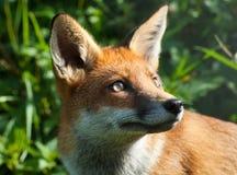 Volpe rossa (vulpes del vulpes) Fotografie Stock