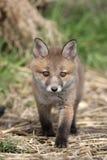 Volpe rossa, vulpes di vulpes Fotografie Stock Libere da Diritti