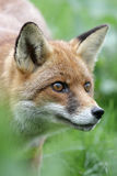Volpe rossa, vulpes di vulpes Fotografia Stock Libera da Diritti
