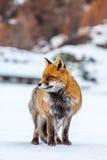 Volpe rossa & x28; Vulpes& x29 di vulpes; nella neve Fotografia Stock