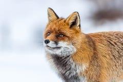 Volpe rossa & x28; Vulpes& x29 di vulpes; nella neve Immagine Stock