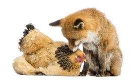 Volpe rossa, vulpes di vulpes, sedendosi accanto ad una gallina, trovantesi Immagine Stock Libera da Diritti