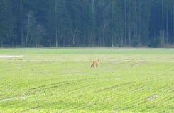 Volpe selvaggia nel campo vicino alla foresta, Lituania Immagine Stock Libera da Diritti