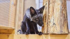 Volpi d'argento del cucciolo nello zoo di coccole immagine stock libera da diritti