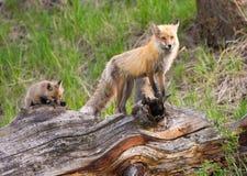 Volpi rosse affettuose. Parco nazionale di Yellowstone fotografia stock libera da diritti