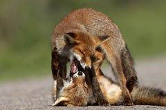 Volpi rosse del piccolo cub Immagini Stock Libere da Diritti