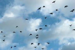 Vols d'une formation de groupe de pigeon pendant le matin Image libre de droits