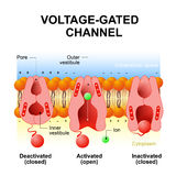 Voltage-gated channels Stock Image
