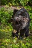 Voltas americanas do Ursus do urso preto de fêmea adulta Foto de Stock