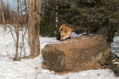 Voltas do vulpes de Amber Phase Red Fox Vulpes sobre a rocha Foto de Stock