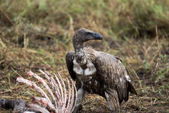 Volture. African vulture new to a zebra carcase Royalty Free Stock Image