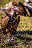 Volture i masaien Mara Royaltyfria Foton