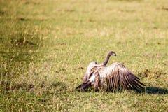 Volture in masai Mara Fotografia Stock Libera da Diritti