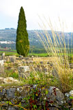 Volubilis in cypress  deteriorated monument and Royalty Free Stock Image