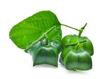 Volubilis Plukenetia, inchi sacha, φυστίκι sacha που απομονώνεται στο μόριο Στοκ φωτογραφία με δικαίωμα ελεύθερης χρήσης