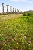 volubilis w Morocco Africa stary żółty kwiat Obrazy Stock