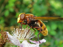 Volucella fly feeding on flower Stock Photography