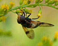 Volucella pellucens fly Stock Photo