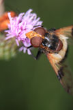 Volucella pellucens Royalty Free Stock Photography