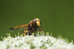 Volucella zonaria, hornet mimic hoverfly, Royalty Free Stock Photography