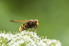Volucella zonaria, hornet mimic hoverfly Royalty Free Stock Images