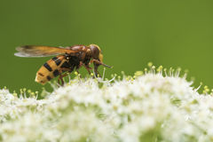 Volucella zonaria, hornet mimic hoverfly, Royalty Free Stock Photos