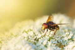 Volucella zonaria, hornet mimic hoverfly, pollinating during sun stock image