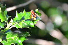 Volucella zonaria - hoverfly大黄蜂仿造物 免版税库存照片