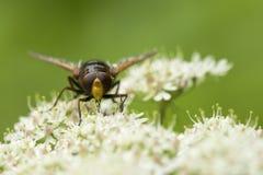 Volucella zonaria szerszenia mimika hoverfly insekt Zdjęcie Stock