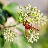 Volucellainanis van de bloemvlieg op bloesems van klimop stock fotografie