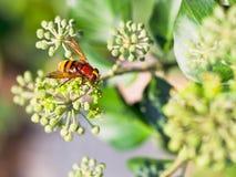 Volucellainanis van de bloemvlieg op bloesems van klimop stock afbeelding