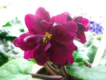 Voluminous wavy flower dark red exhilarating on light background. Voluminous wavy flower dark red exhilarating blooming large on light background stock image