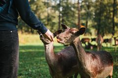 A volunteer feeds a wild deer in the forest. Caring for animals. Stock Image