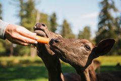 A volunteer feeds a wild deers in the forest. Caring for animals. Royalty Free Stock Image