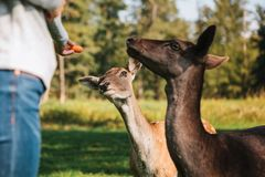 A volunteer feeds a wild deers in the forest. Caring for animals. Stock Photos