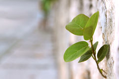 Volunteer. Little green seedling finds a towhold in a wall Royalty Free Stock Image