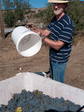 Volunteer man working at grape harvest. Harvesting grapes. Man with straw hat and beard pouring grapes in container Royalty Free Stock Photos