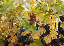 Volunteer picking grapes for wine royalty free stock photography