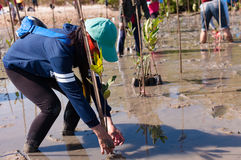 Volunteer plant young mangrove trees at the swamps nearby Saphan Stock Images