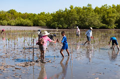 Volunteer plant young mangrove trees at the swamps nearby Saphan Royalty Free Stock Images