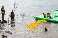 Rubber duck racing in the harbor: nearing the finish line royalty free stock image