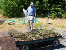 Man spraying water on seedlings on dolly to replant. Volunteer waters multiple baby plants after replanting.  Sitting on a hand cart, the plastic trays will be Royalty Free Stock Image