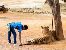 Volunteers with Bengal tiger at the Tiger Temple Stock Photo