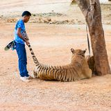 Volunteers with Bengal tiger at the Tiger Temple Royalty Free Stock Photography