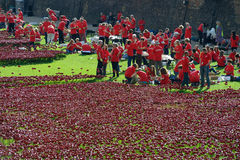 Volunteers installing the 888,246 ceramic poppies Stock Photo