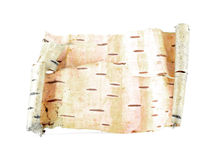 Voluta de la corteza de abedul aislada en el fondo blanco Imagen de archivo libre de regalías