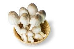 Volvacea do Volvariella do cogumelo de palha Foto de Stock Royalty Free